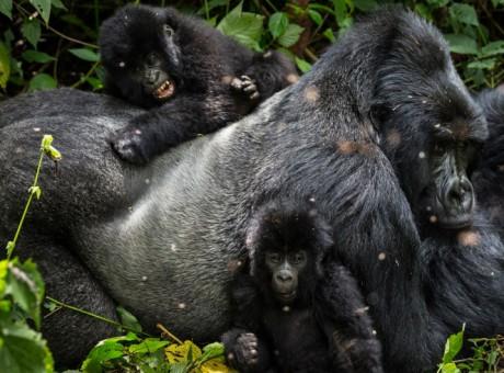 gorillaorphans_0006_resize